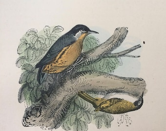 1907 The Nuthatch Original Antique Matted Hand-Coloured Engraving - Ornithology - Bird Decor - Wildlife - Decorative Art - Available Framed