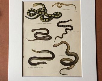 1862 Original Antique Hand Coloured Engraving - Available Mounted, Matted and Framed - Rattlesnake Viper Jaramicus Seasnake - Snake