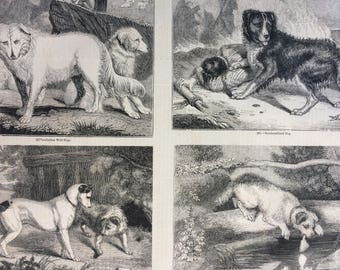 1856 Large Original Antique Engraving - Italian Wolf Dogs, Newfoundland Dog, England and Scotch Terriers, Scotch Terrier - Dogs - Canine