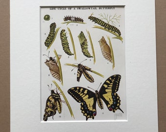 1940s Life Cycle of a Swallowtail Butterfly Original Vintage Print - Mounted and Matted - Entomology - Caterpillar - Available Framed