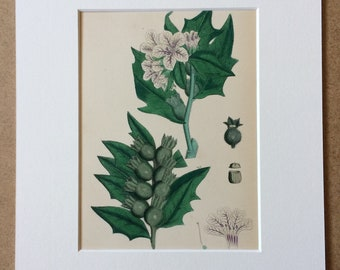 1866 Original Antique Botanical Hand-Coloured Engraving - Common Henbane - Mounted and Matted - Decorative Wall Art - Botany