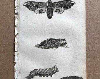 1809 Sphinx Original Antique Engraving - Natural History - Insect Art - Victorian Decor - Caterpillar - Moth - Entomology