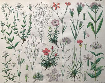 1880 Large Original Antique Botanical Lithograph - Botanical Print - Botany - Plants - Botanical Art - Wall Decor - Flower - Dianthus