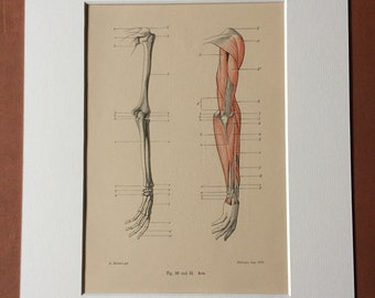 1890 Original Antique Anatomical Print - Arm Muscles - Bone - Skeleton - Anatomy - Medical Decor - Mounted and Matted - Available Framed