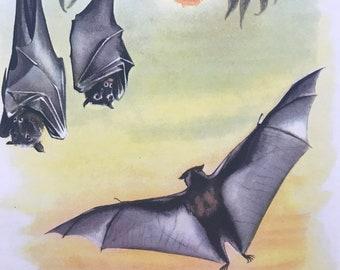 1956 Fruit Bat Original Vintage Illustration - Australia - Wildlife Decor - Mounted and Matted - Available Framed