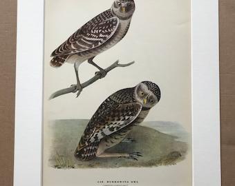 1937 Burrowing Owl Original Vintage Audubon Print - Mounted and Matted - Available Framed - Bird Art - Ornithology
