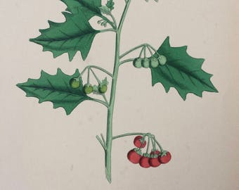 1866 Original Antique Botanical Hand-Coloured Engraving - Red Nightshade - Mounted and Matted - Decorative Wall Art - Botany