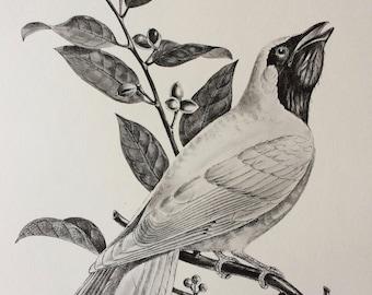 1960 Large Original Vintage Bird Print, 11.5 x 17 inches, Procne Azaponga, Vintage Decor, Ornithology, Tropical Wall Art