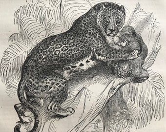 c.1860 Original Antique Print - Jaguar or American Panther - Wildlife - Natural History - Mounted and Matted - Available Framed