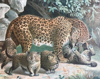 1893 Leopards Original Antique Print - Wildlife - Natural History - Animal Art - Mounted and Matted - Available Framed