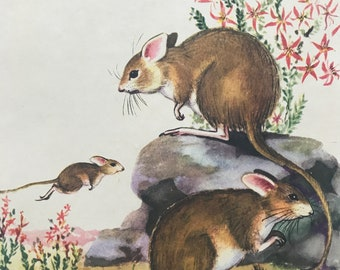 1956 Mitchell's Hopping Mouse Original Vintage Illustration - Australia - Wildlife Decor - Mounted and Matted - Available Framed