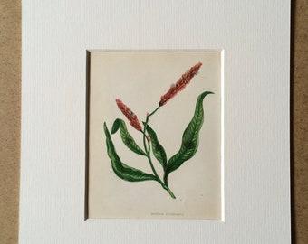 1852 Original Antique Hand-Coloured Anne Pratt Botanical Illustration - Spotted Persicaria - Flower - Botany - Garden - Available Framed