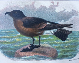 1896 Madeira Petrel Original Antique Chromolithograph - Bird - Ornithology - Mounted and Matted - Available Framed