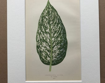 1872 Original Antique Hand Coloured Botanical Illustration - Botany - Beautiful Leaved Plant - Dieffenbachia - Available Matted & Framed