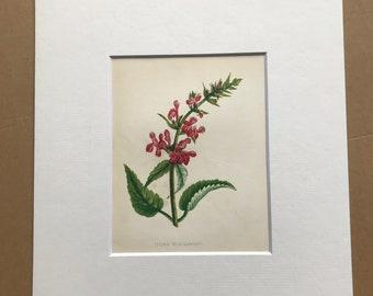 1852 Original Antique Hand-Coloured Anne Pratt Botanical Illustration - Hedge Woundwort - Flower - Botany - Garden - Available Framed