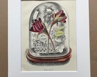 1939 Red Moss Original Vintage Print - Mounted and Matted - Botanical Illustration - Flower Art - Retro Decor - Available Framed