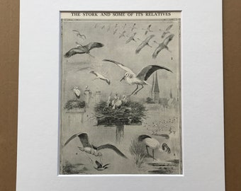 1940s The Stork and some of its relatives Original Vintage Print - Mounted and Matted - Ornithology - Bird Art - Framed Vintage Bird Art