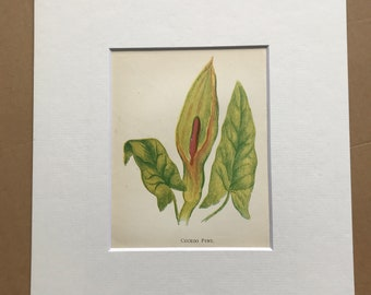1852 Original Antique Hand-Coloured Anne Pratt Botanical Illustration - Cuckoo Pint - Flower - Botany - Garden - Available Framed