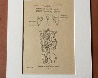 1949 Original Vintage Anatomical Print - Bones of the Shoulder - Anatomy - Medical Decor - Science - Mounted and Matted - Available Framed