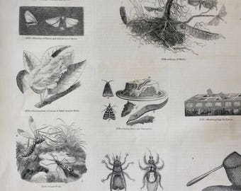 1856 Large Original Antique Engraving - Crane-Fly - Moth - Caterpillar - Larvae - Lepidoptera - Entomology - Wall Decor
