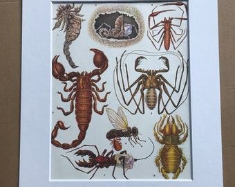 1984 Arachnida Original Vintage Print - Insect Art - Spider - Mounted and Matted - Available Framed