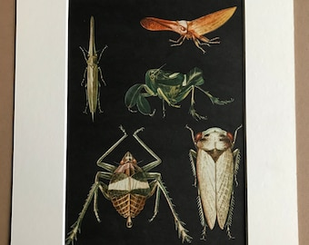 1968 Original Vintage Print - Entomology - Homoptera - Cicada - Insect Art - Mounted and Matted - Available Framed