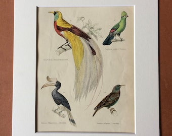 1862 Emerald Paradise Bird, Touraco, Hornbill, Starling Original Antique Hand Coloured Engraving - Available Mounted, Matted and Framed