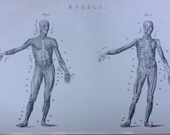 1891 Muscles Original Antique Steel Engraving - Encyclopaedia Illustration - Anatomical Decor - Anatomy - Muscular - Medicine - Wall Decor