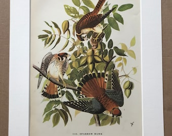1937 Sparrow Hawk Original Vintage Audubon Print - Mounted and Matted - Available Framed - Bird Art - Vintage Decor, Ornithology