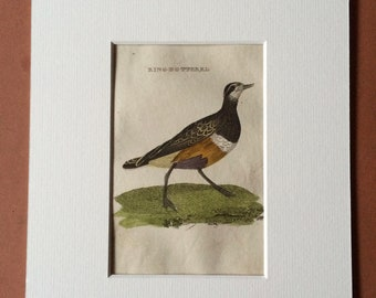 1815 Ring Dotterel Original Antique Hand-Coloured Engraving - Ornithology - Vintage Bird Art - Mounted and Matted - Available Framed