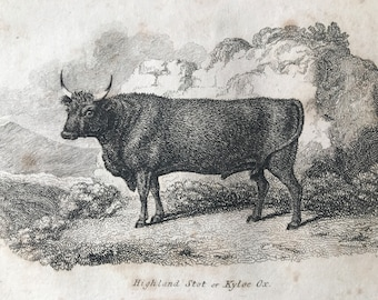 1809 Highland Stot or Kyloe Ox Original Antique Engraving - Natural History - Cow - Cattle - Available Matted and Framed