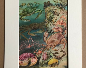 1968 Crabs Original Vintage Print - Mounted and Matted - Available Framed - Chesapeake Blue Crab, European Green Crab, Marbled Crab
