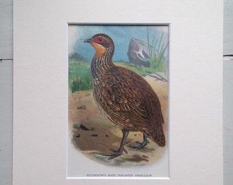 1896 Reichenow's Francolin Original Antique Lithograph - Game Bird - Hunting - Ornithology - Wall Decor - Country Decor - Available Framed