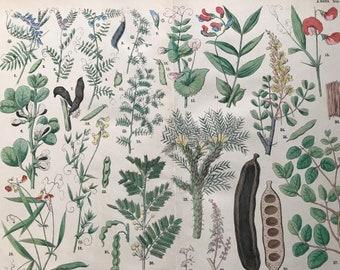 1880 Large Original Antique Botanical Lithograph - Botanical Print - Botany - Plants - Botanical Art - Wall Decor - Carob Tree