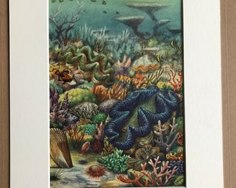 1968 Original Vintage Print - Available Framed - 14 x 11 inches - Marine Wildlife - Giant Clam, Pinna, Cockscomb Oyster, Flame Scallop