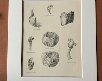 1862 Cirripedes Original Antique Engraving - Available Mounted, Matted and Framed - Marine Species - Cirripedia - Barnacle