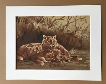 1915 Fox Cubs Original Antique Print - Wildlife Decor - Mounted and Matted - Available Framed