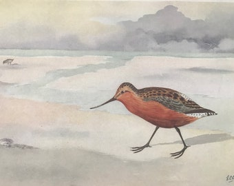 1924 Bar-Tailed Godwit Original Antique Print - Mounted and Matted - Ornithology - British Waders - Vintage Bird Art - Available Framed