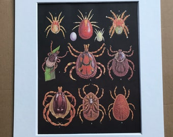 1984 Blood-Sucking Ticks Original Vintage Print - Insect Art - Mounted and Matted - Available Framed
