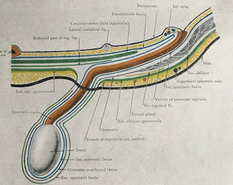 1942 Inguinal Canal and Coats of Spermatic Cord Original Vintage Print - Anatomy - Medical Decor - Biology - Available Framed