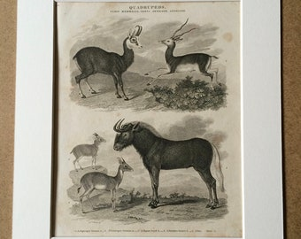 1819 Original Antique Engraving - Antelope and Wildebeest Species - Mammal - Wildlife Decor - Natural History - Available Matted and Framed