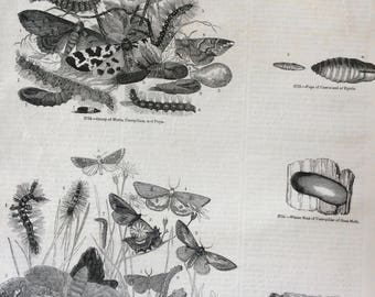 1856 Large Original Antique Engraving - Goat Moth, Caterpillar Nest, Pupa of Cossus of Egeria - Lepidoptera - Entomology - Wall Decor