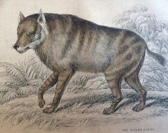1860 The Strand Hyaena - Original Antique Hand-Coloured Engraving - Matted and Available Framed - Canine Wall Decor