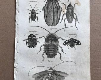 1809 Blatta Original Antique Engraving - Natural History - Insect Art - Beetle - Americana, Heteroclita, Gigantea - Entomology