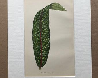 1872 Original Antique Hand Coloured Botanical Illustration - Botany - Beautiful Leaved Plant - Pavetta - Available Matted & Framed
