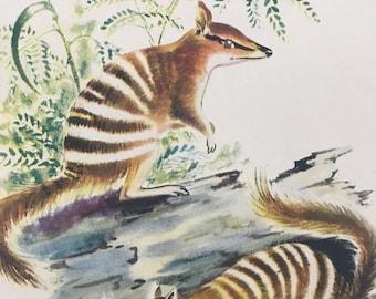 1956 Numbat Original Vintage Illustration - Australia - Wildlife Decor - Mounted and Matted - Available Framed