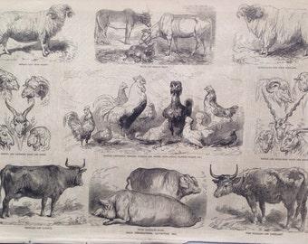 1856 Paris Agricultural Exhibition 1856 Original Antique Engraving, Newspaper Print, Farm Animals, Agriculture, Chicken, Cow, Pig, Sheep