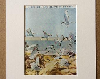 1940s Sacred Ibises, close relatives of the Stork Original Vintage Print - Mounted and Matted - Ornithology - Framed Vintage Bird Art