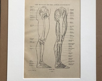 1949 The Muscles of the Lower Extremity Original Vintage Print - Anatomy - Medical Decor - Mounted and Matted - Available Framed