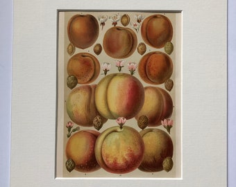 1897 Peaches and Apricots Original Antique Lithograph - Mounted and Matted - Botanical Decor - Fruit - Vintage Wall Decor - Available Framed